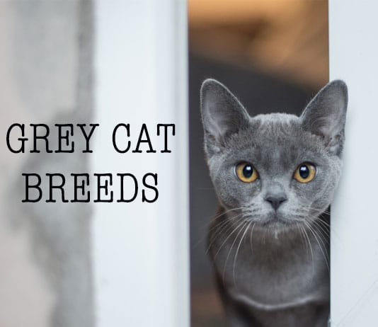 Grey-Cat-Breed-