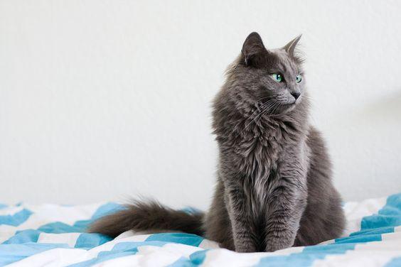 Different Grey Cat Breeds