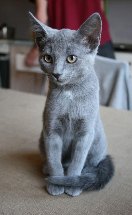 Russian Grey Cat Breed