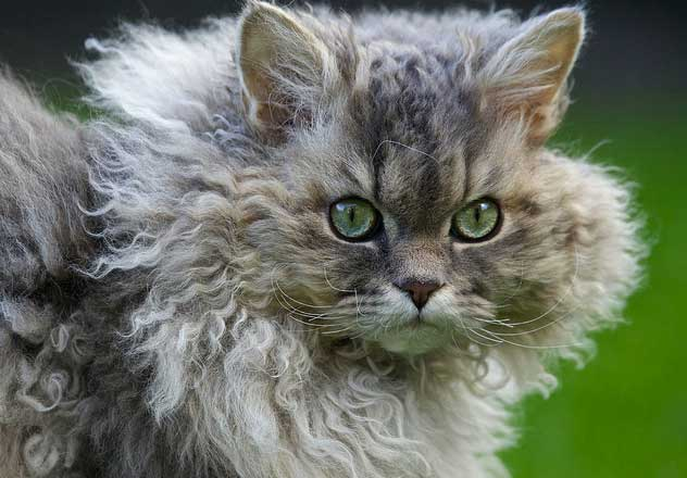 Curly Hair Cat Breeds And Their Personalities