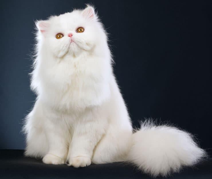 Top Furry Cats Breeds ...