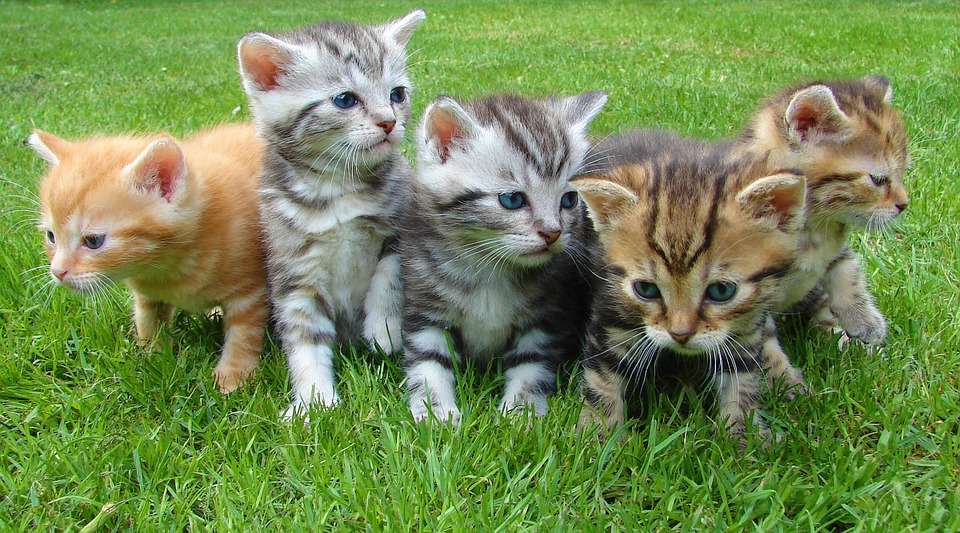 kittens 555822 960 720 Cat Information and Facts