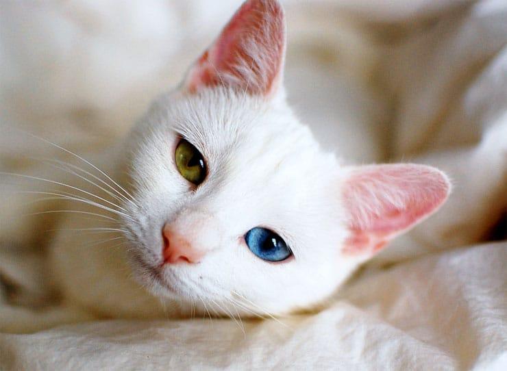 odd-eyed-cats