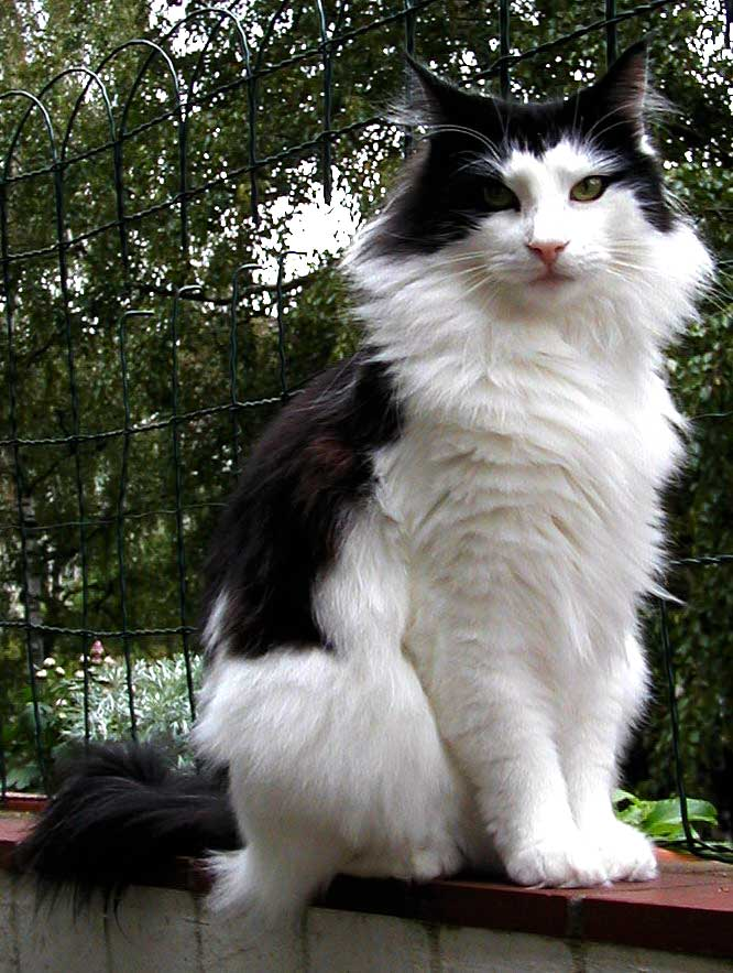 Norwegian_forest_cat-tuxedo-coat