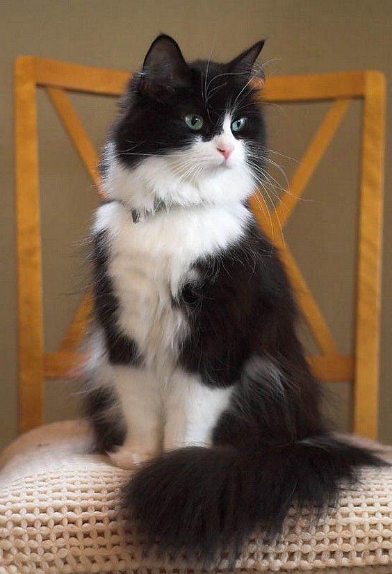 All About TUXEDO CAT F... Fluffy Tuxedo Cat