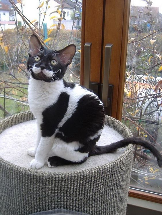 tuxedo cat breeds
