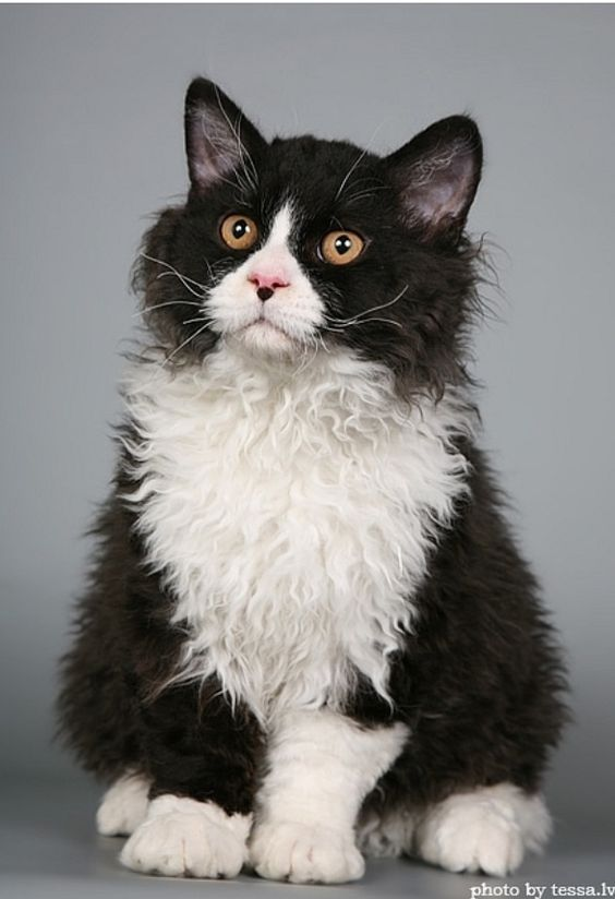 Hairy Cat Yellow Eyes