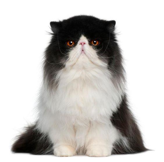 Persian Tuxedo Cat