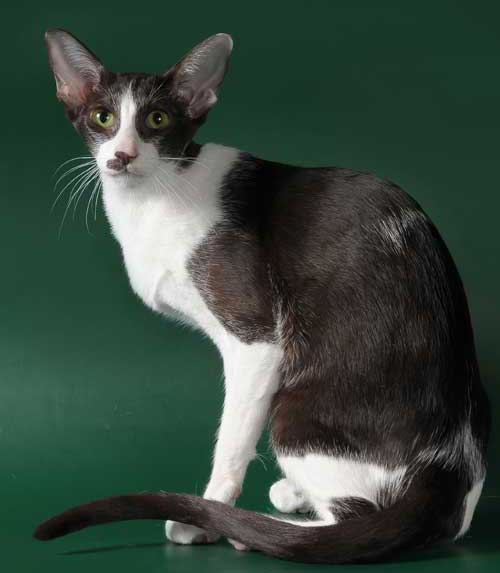 devon rex tux cat