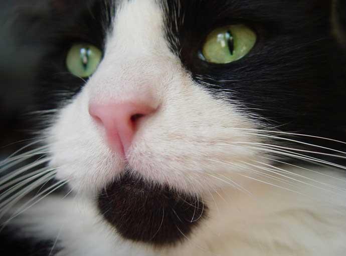 main-coon-tuxedo-cat
