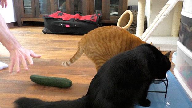 cat-and-cucumber