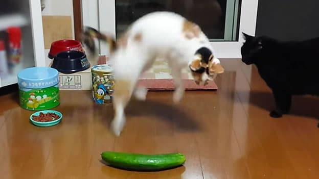 cat-and-cucumber