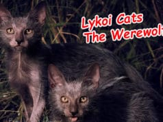 lykoi-cats-the-werewolf-cat