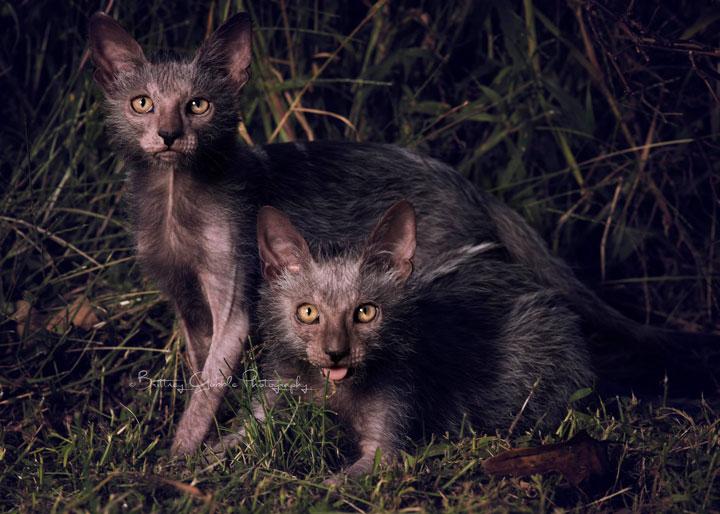 lykoi-cat3