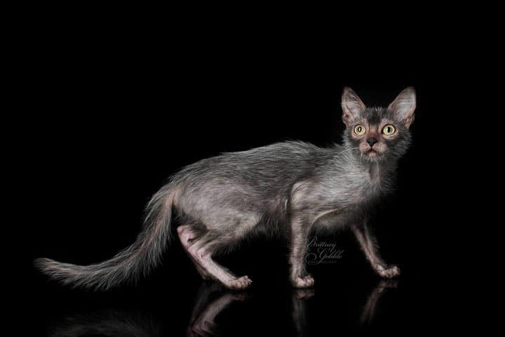 lykoi-cats