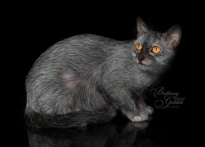 Wolf Fur Coat >> Lykoi Cats | THE WEREWOLF CAT | Haft Cat Haft Wolf