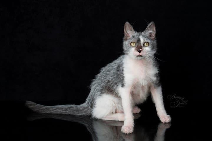 tuxedo-lykoi-cat