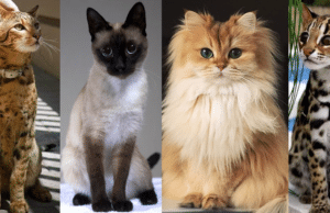 most expensive cat breeds