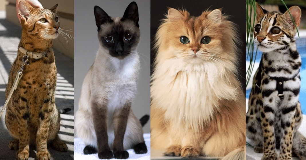 All The Breeds Of Cats In The World