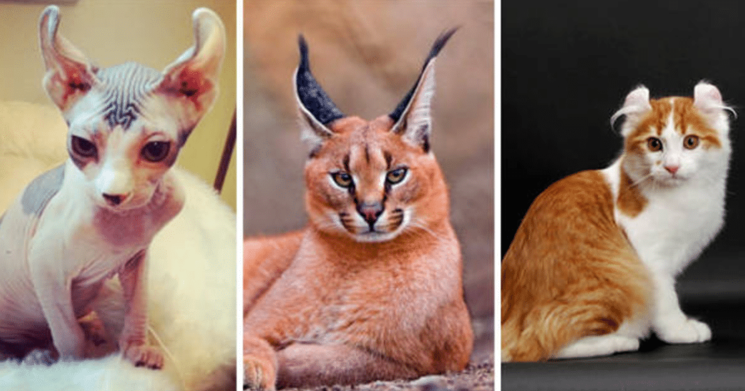 15 of the world s most expensive cats costing up to