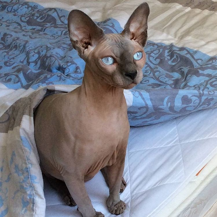 Sphynx cats Scamsters: Is Cheating Cat Lovers By Selling Them Shaved Kittens