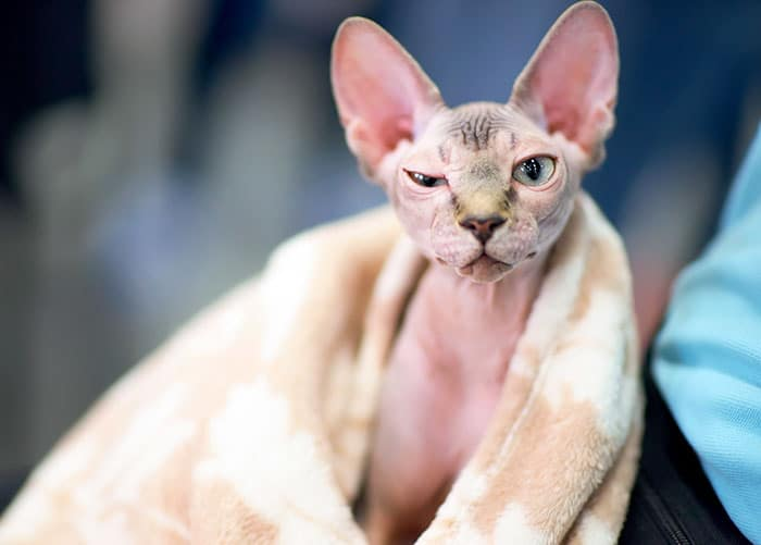 shaved-kittens-sphynx-cats