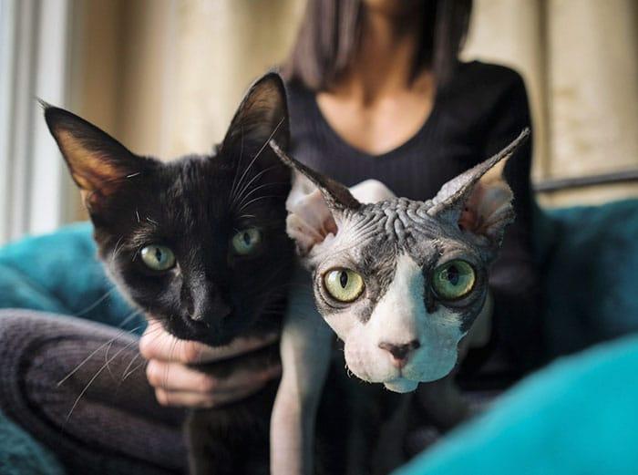 sphynx-cats