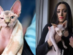 shaved-kittens--sphynx-cats