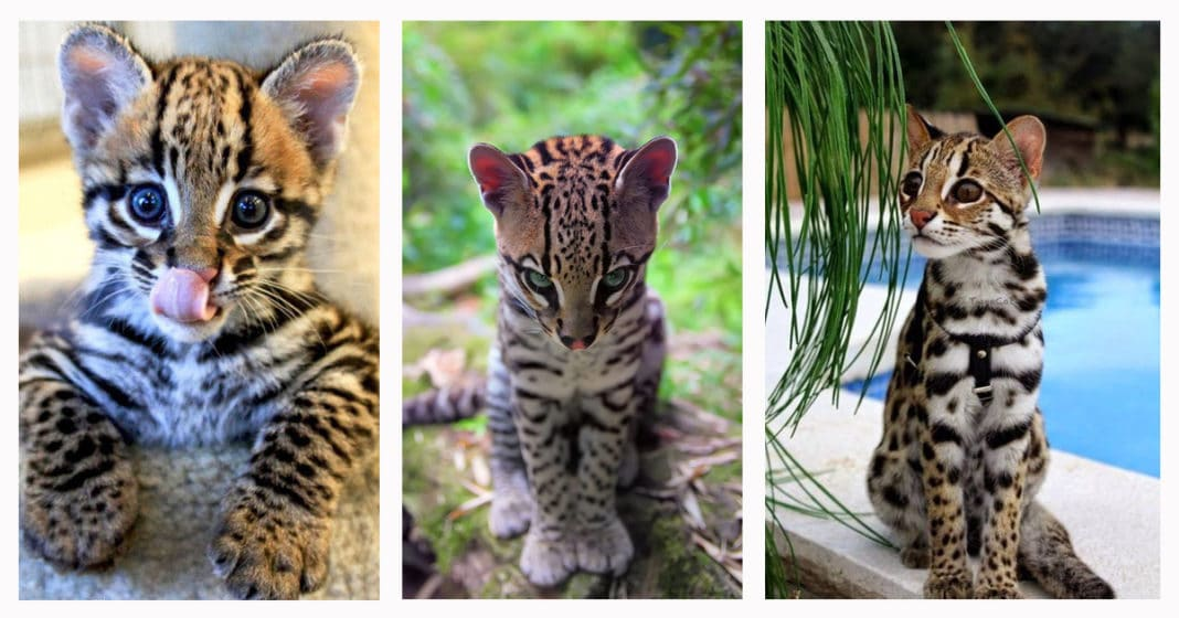 The Exotic Jungle Looks And Wild Ocelot Cat Cats In Care