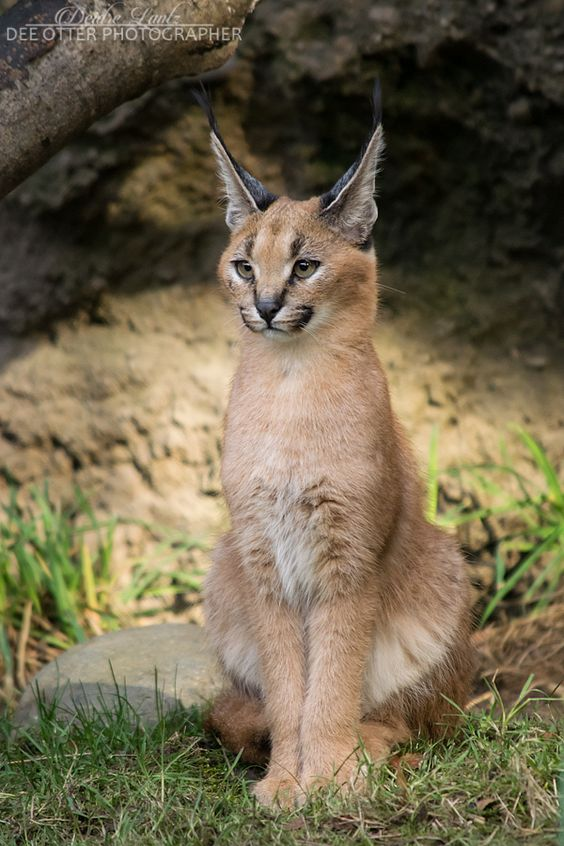 13 Facts About The Cutest Species Quot Caracal Cat Quot Cats