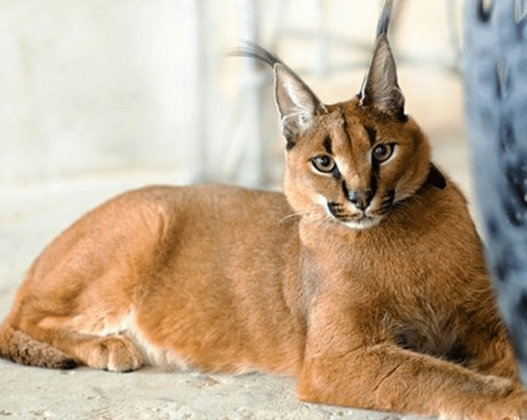 "13 Facts about The Cutest Species "" Caracal Cat """