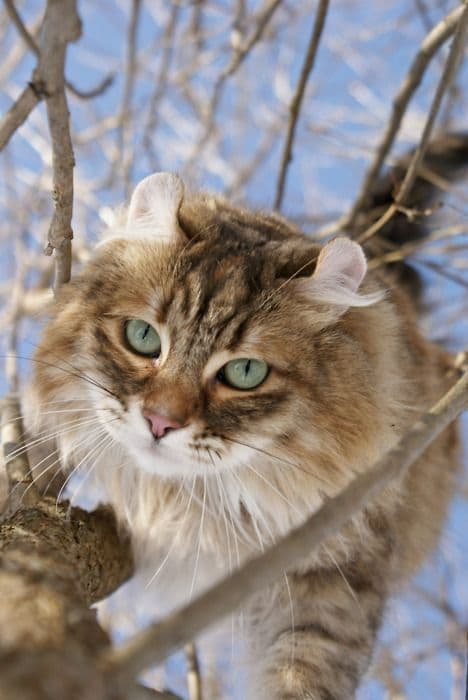 15 Purrsome Cat Breeds That Behave Like Dogs – The CATDOGS