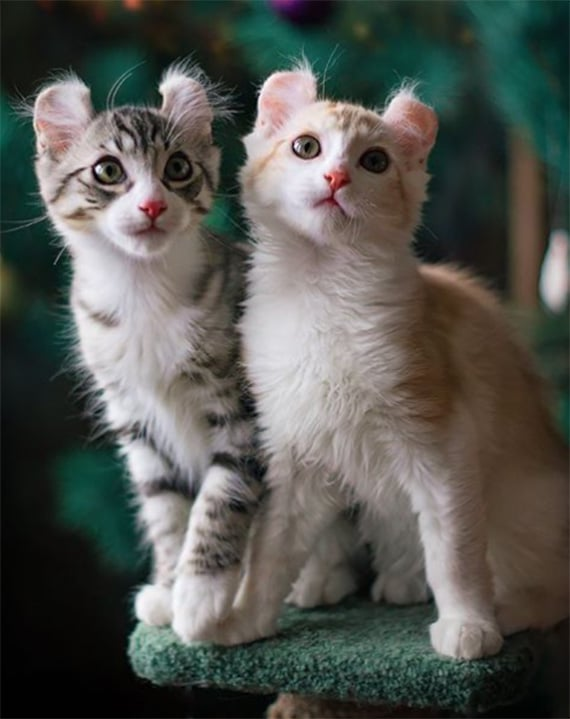 popular cat breed