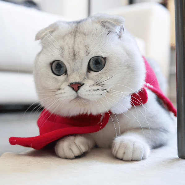 Most Expensive Cat Breeds In The World Cats In Care