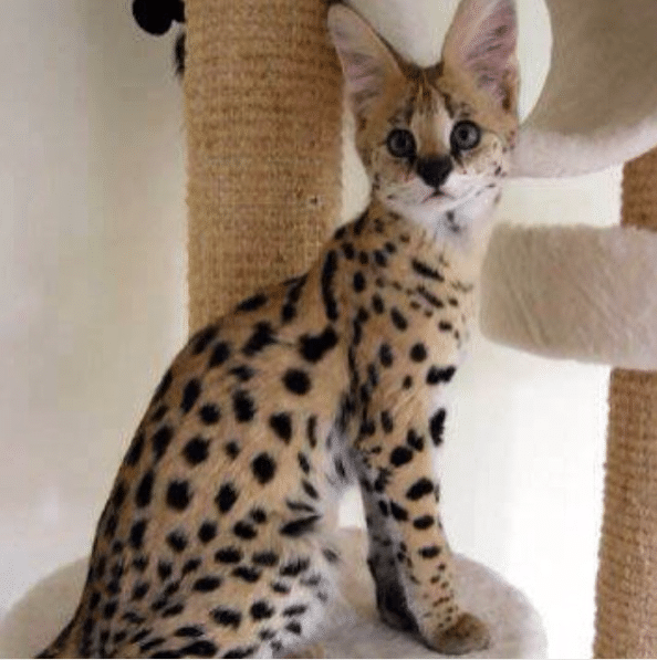 most expensive cat breed