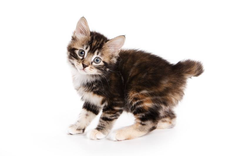 How to Care for an American Bobtail Cat