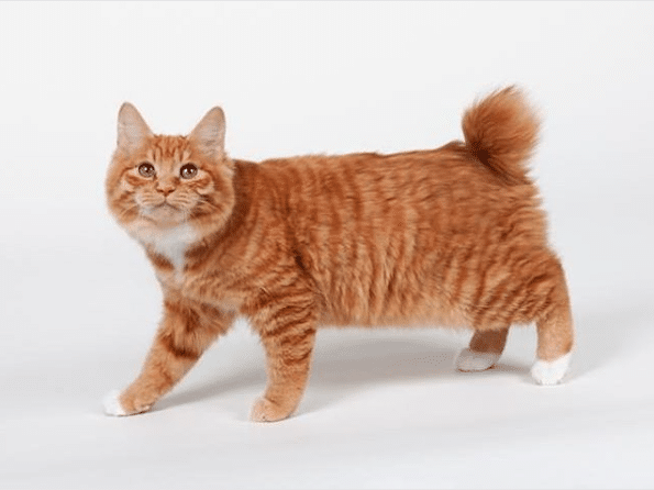 Domestic Cats Without Tails