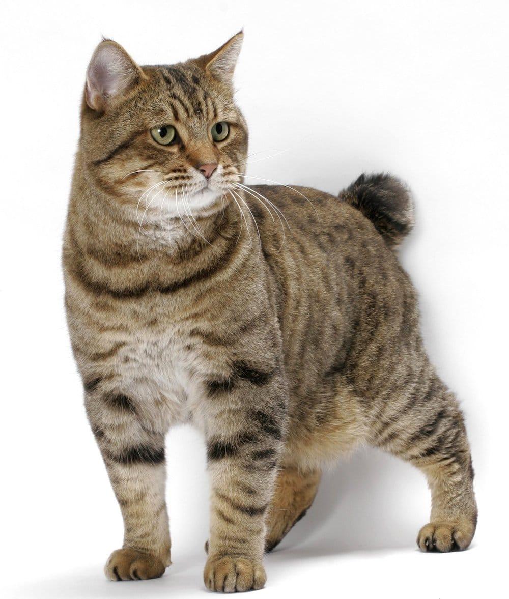 American Bobtail Cat Lifespan