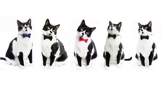 JN Tuxedocat2 Tuxedo Cats (A Rockstar Cat In Suit )