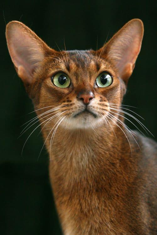 Abyssinian Cat Breeds