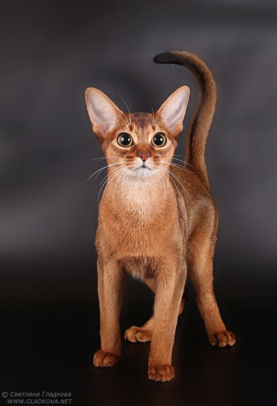 abyssinian cat breeds