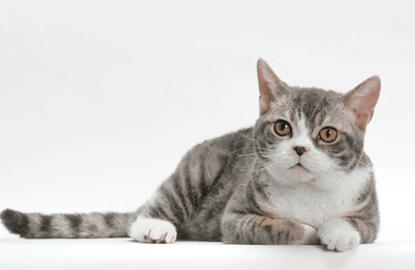 American Wirehair Cat Breeds