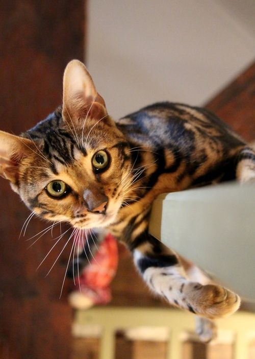 Bengal Cat Breeds Cats In Care