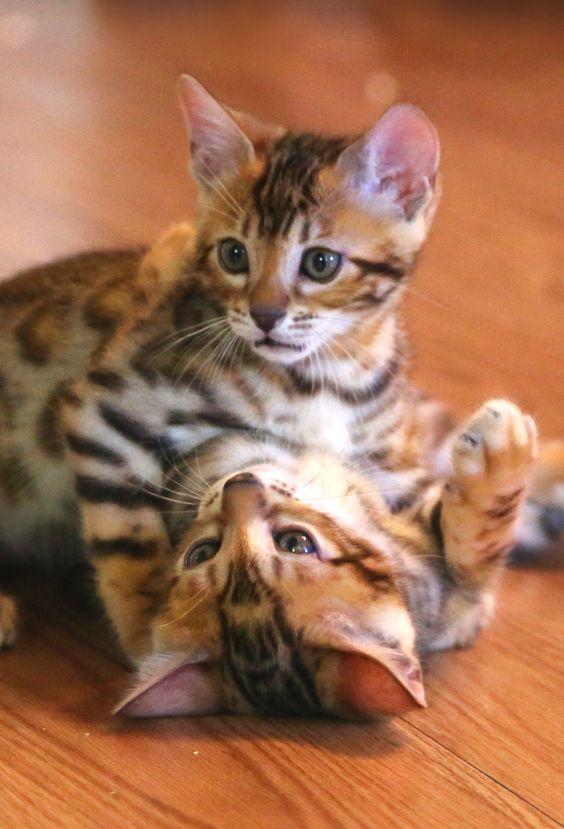 Bengal Cat Breeds
