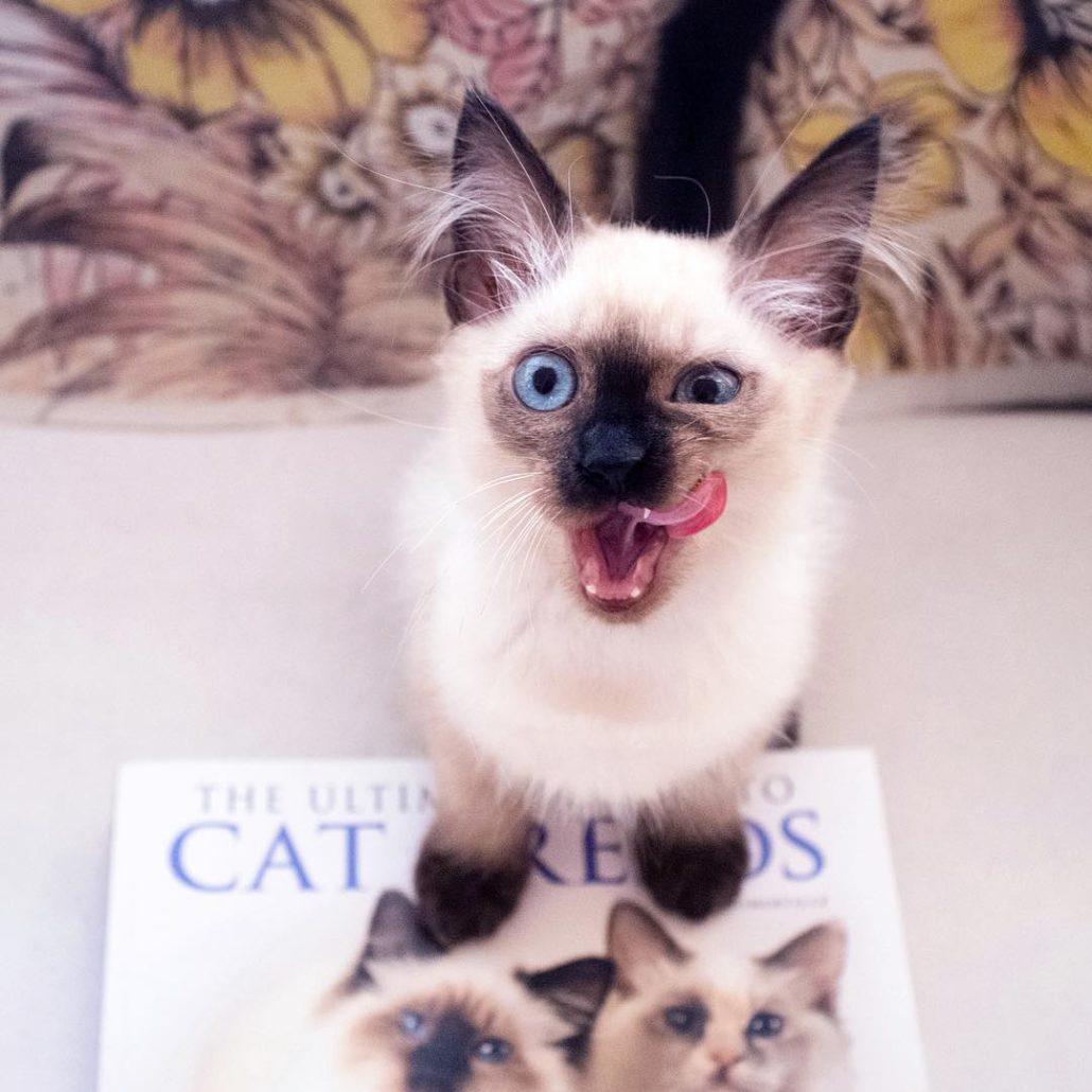 Balinese Cat Breeds