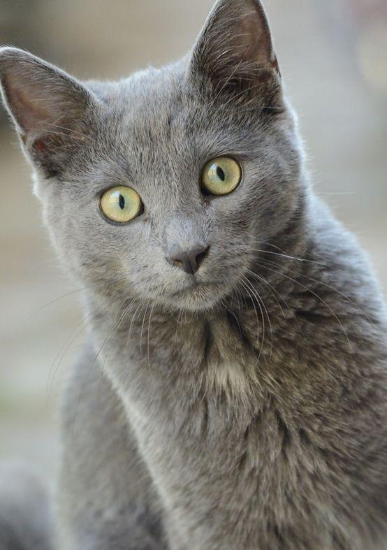 Chartreux Cat Breeds