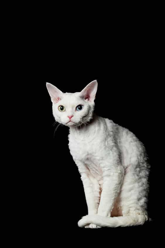Cornish Rex Cat Breeds
