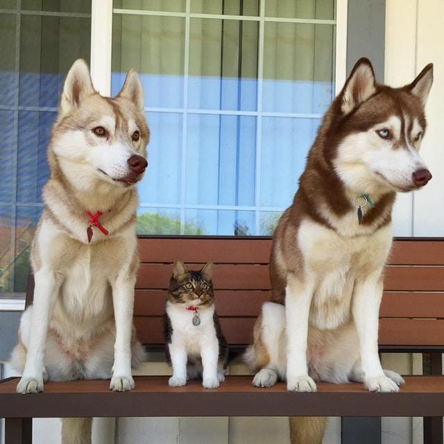 Rosie The Rescue Kitten and Her Best Friend The Three Huskies