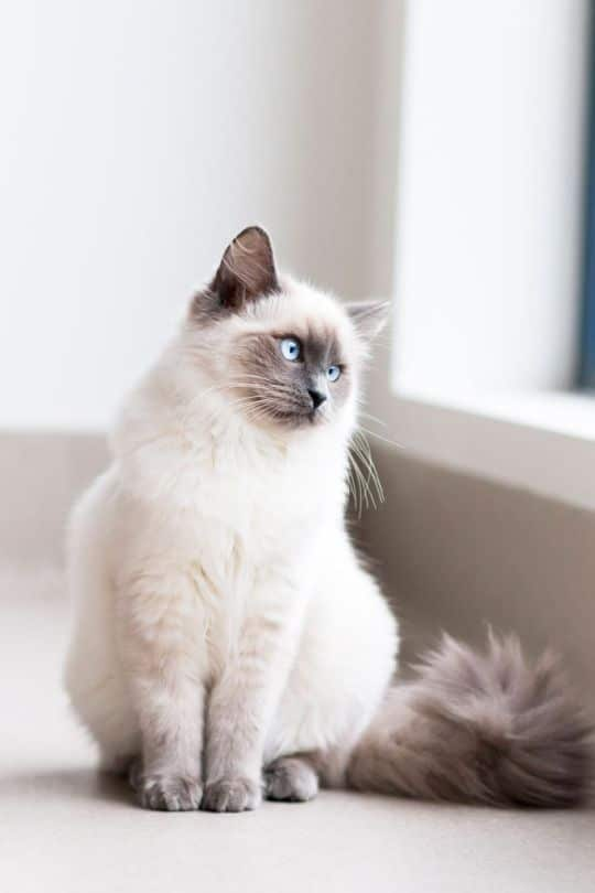 Birman cat breeds