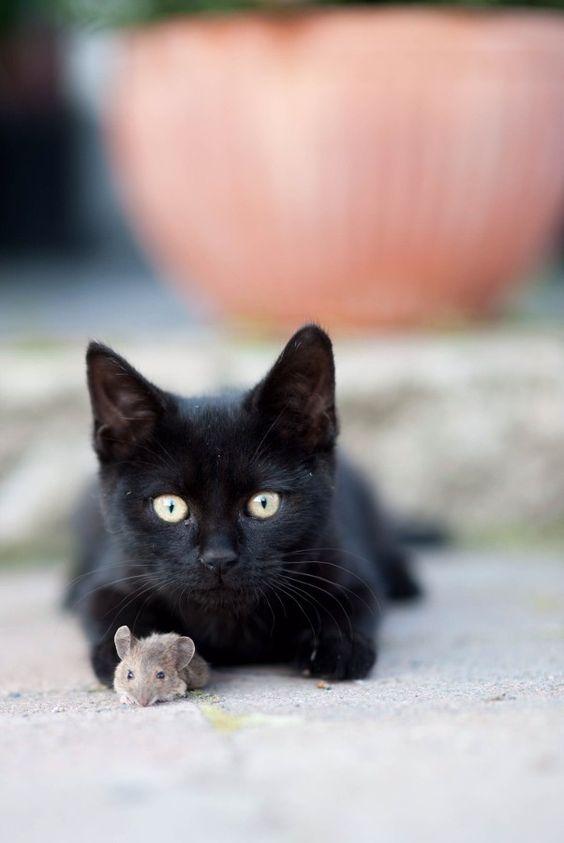 Bombay cat breeds